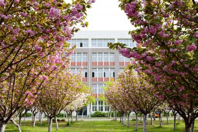 校园樱花竞相吐蕊