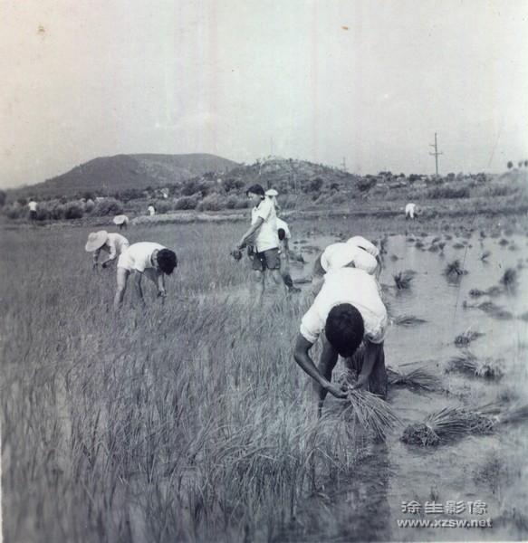 插秧实习(1961年) 插秧实习(1961年)  生产劳动组图(1961年)